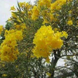 tabebuya bunga kuning