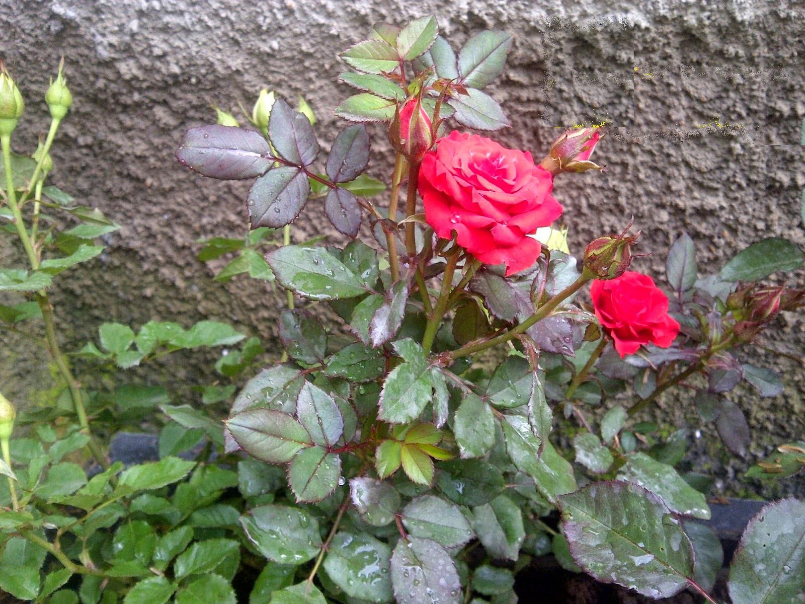 Jual Tanaman Mawar Merah Murah Jual Aneka Tanaman Hias