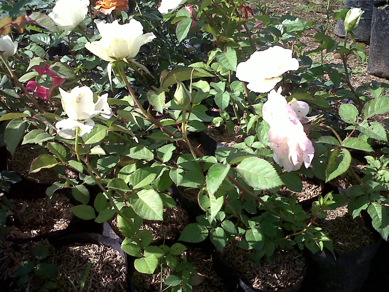 Jual Tanaman Mawar Putih Murah Jual Aneka Tanaman Hias