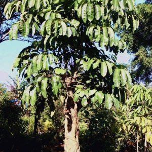 pohon walisongo besar