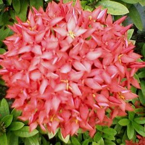 bunga asoka