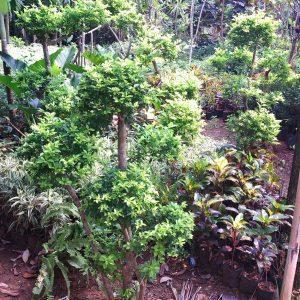 bonsai teh tehan