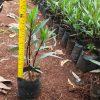tanaman hias ruelia